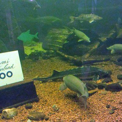 Allas, jossa suuria kaloja ja Suomi 100 -juhlavuoden kyltti.