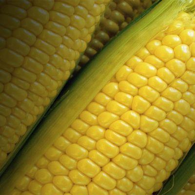 Maissin tähkiä