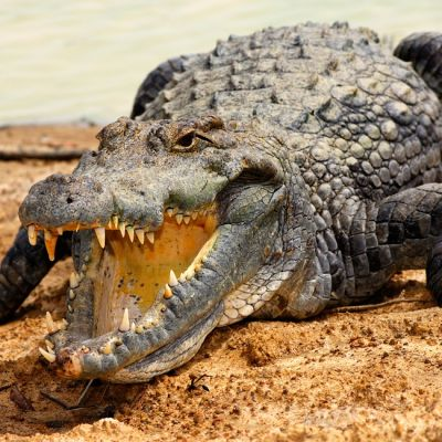 Krokotiili hiekalla veden ääressä kita auki