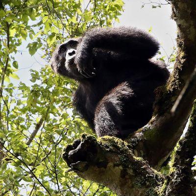 Kuvan simpanssi on valokuvattu Kibalen kansallispuistossa Ugandassa lokakuussa 2012.