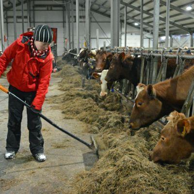 Nainen talikoi heiniä lehmille.