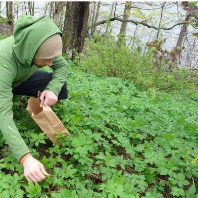 Mies kerää vuohenputken lehtiä