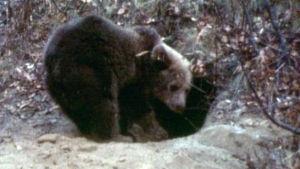 Karhu pesällä