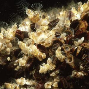 Merirokkoa ja sinisimpukkaa Itämeren pohjassa