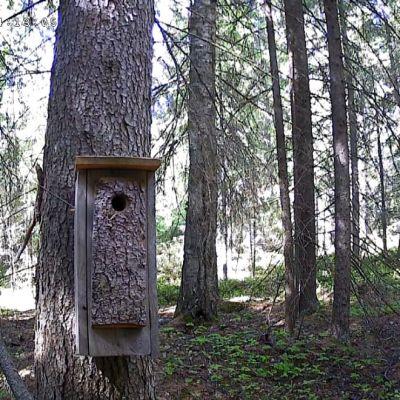 Liito-oravan pönttö kuusen kyljessä