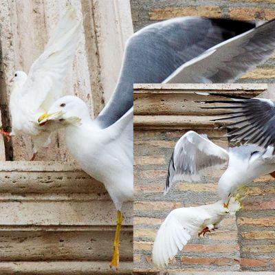 Kahden valokuvan yhdistelmä lokin hyökkäyksestä rauhankyyhkyn kimppuun Vatikaanissa 26. tammikuuta.