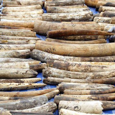 Afrikannorsun syöksyhampaita Thaimaan tullissa 20. huhtikuuta.