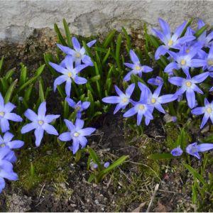kevättähti