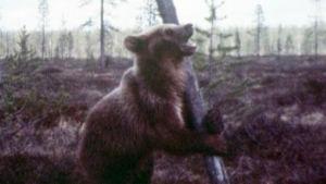 Karhu seisoo