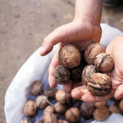 Saksanpähkinöitä.