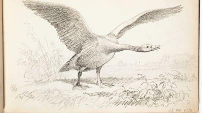 Ferdinand von Wright, skiss av en svan. (1857–1875)