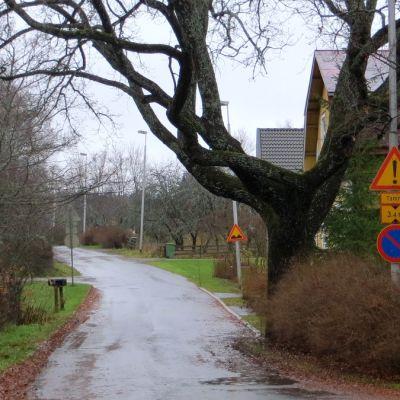 Vanha tammi tien laidassa sateisena päivänä