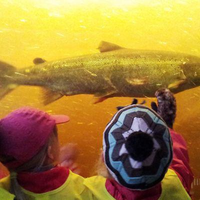 Lohi ui kalatietä myöten Oulujokeen.