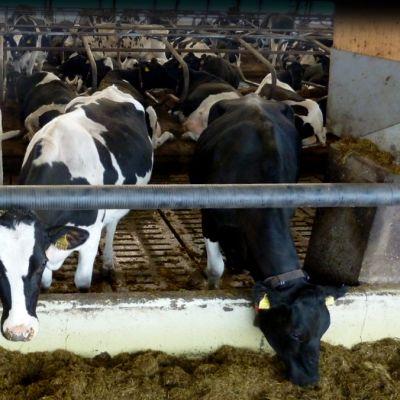lehmiä pihatossa