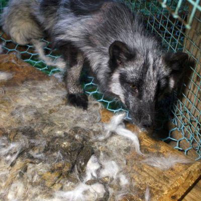 Oikeutta eläimille -yhdistyksen julkaisema kuva pedersöreläiseltä turkistarhalta kesäkuussa 2014.
