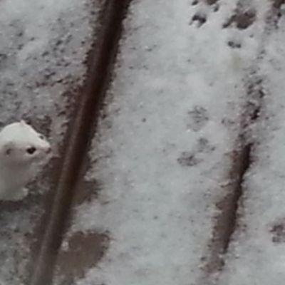 Lumikko