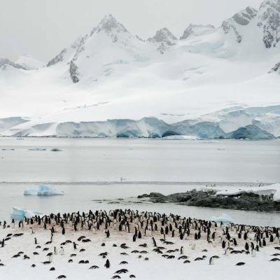 Valkokulmapingviinien yhdyskunta.