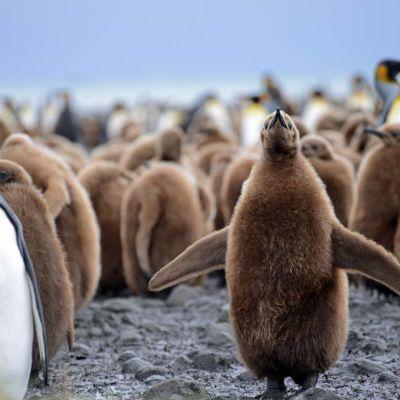 Kuningaspingviinin poikanen levittelee siipiään rantakaistaleella Etelä-Georgiassa.