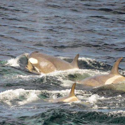 Miekkavalaita Falklandinsaarten lähistöllä.