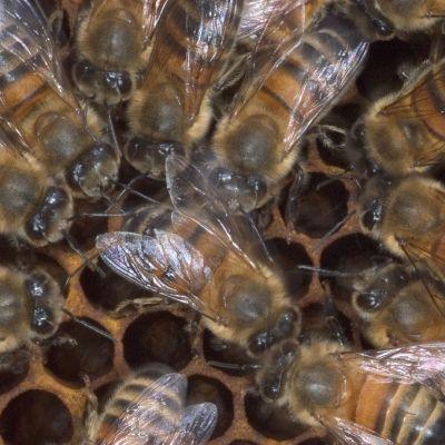 Mehiläisiä pesän kennon päällä yhden  mehiläisen ympärillä.