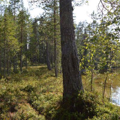 Vienan reitti Kevättijärven rannan kohdalla.