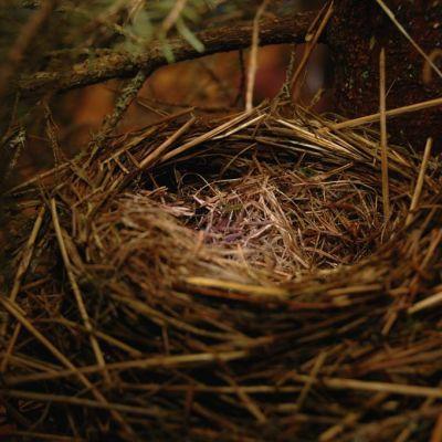 Joulukuusen oksien suojista löytyi linnunpesä.