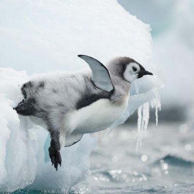 Harmaa, mustapäinen ja valkovatsainen pingviiniuntuvikko pudottautumassaa jäältä mereen. Kaksi muuta katselee jäältä.