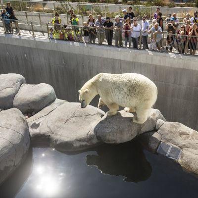Jääkarhu aitauksessa. Taustalla suuri ryhmä aidan takana olevia ihmisiä.