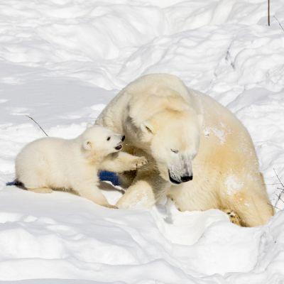Jääkarhunpentu Sisu Venus-emon kanssa.