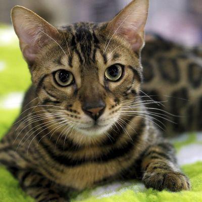 Kuvassa kissa