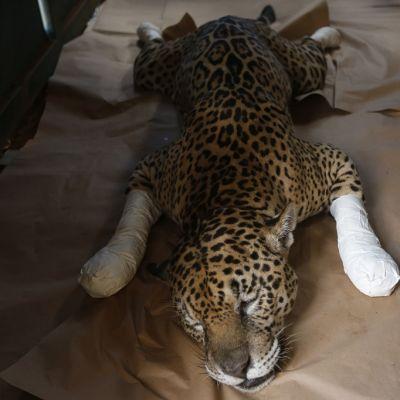 Mahallaan makaava jaguaari, jonka tassut on kääritty siteisiin.
