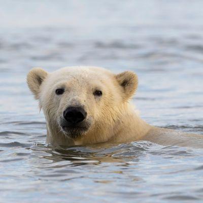 Jääkarhu meressä, vain pää näkyy.