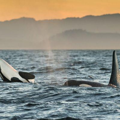 Kaksi miekkavalasta kisailee merenpinnalla, takana karua rantaa.