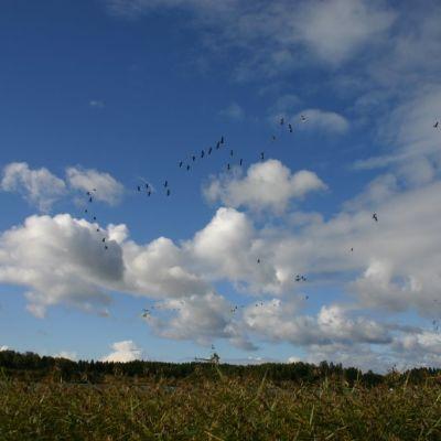 Flygande grågäss i Marieberg i Ingå.