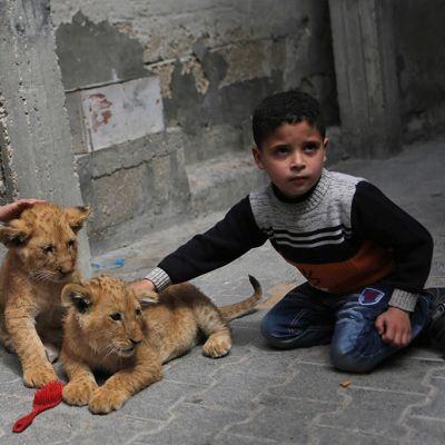 kolme lasta silittelee kahta leijonanpentua kadulla