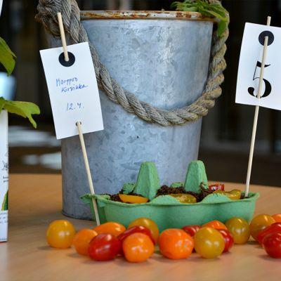 Tomaatin taimia