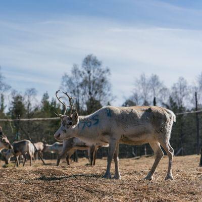 Seurujärven perhe Partakon kylässä on huolissaan metsähallituslain uudistuksesta.