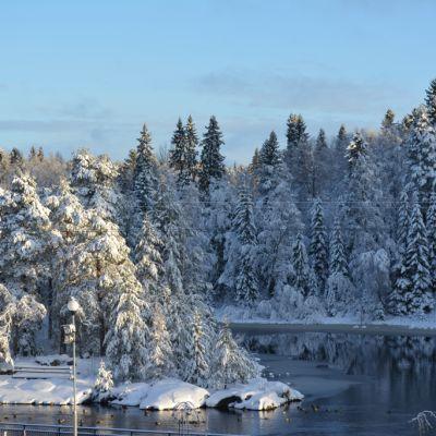 Kyynäspäänniemen lumiset kuuset Kajaaninjoella