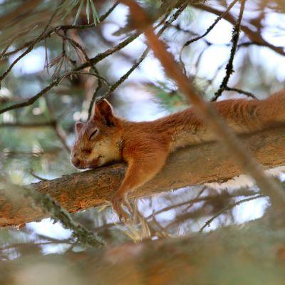 Orava päikkäreillä.