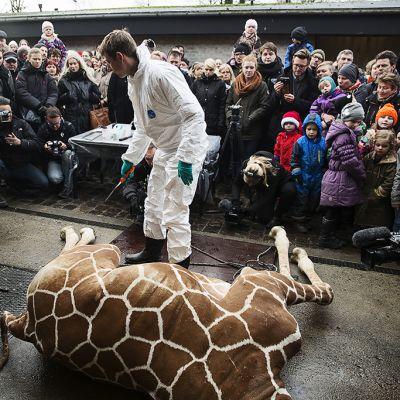 Eläinlääkäri suorittamassa ruumiinavausta lopetetulle Marius-kirahville Kööpenhaminan eläintarhassa.