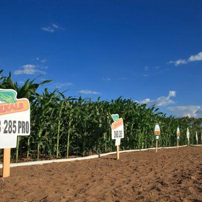 Monsanton maissipelto bioteknologisessa tutkimusyksikössä Petrolinassa, Brasiliassa.
