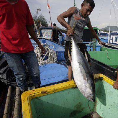 Kalastajat purkavat satamassa tonnikalasaalista kalastusveneestä.