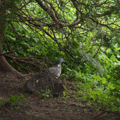Sepelkyyhky metsässä