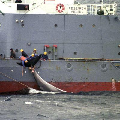 Valaanpyytäjät valmistautuvat nostamaan valaan laivaan.
