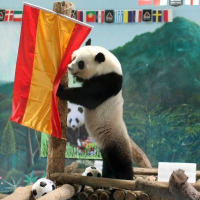 Kiinalaiseläintarhassa asustava Lin Ping -panda ennusti Espanjan voittavan välierässä Portugalin.