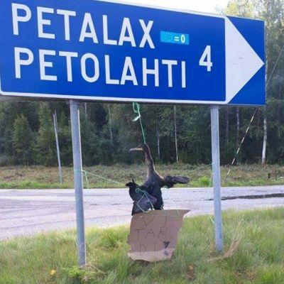 Kuollut merimetso ripustettuna Petolahden tienviittaan.