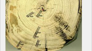Puun ikä on määritetty sen vuosilustojen perusteella