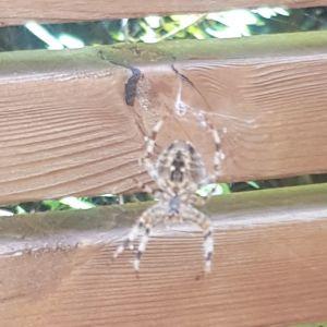 Vad är det här för spindel? undrar Linda.