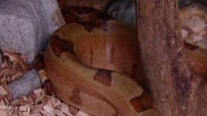 På bilden syns en del av en boaorm, träflis, en kvist och en sten.