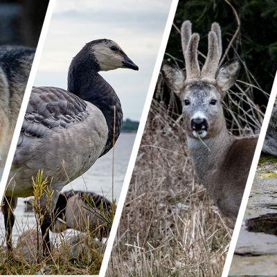 Susi, valkoposkihanhi, metsäkauris ja harmaahylje
